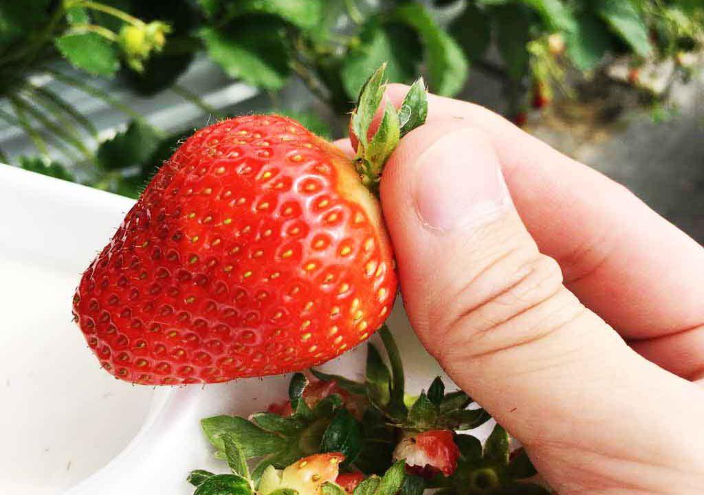 【おすすめ】高知のGW(ゴールデンウィーク)は子どもと一緒にイチゴ狩り!!西島園芸団地