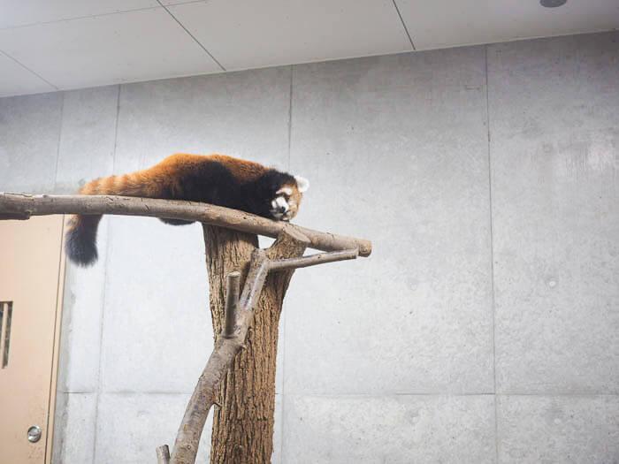 レッサーパンダの寝顔